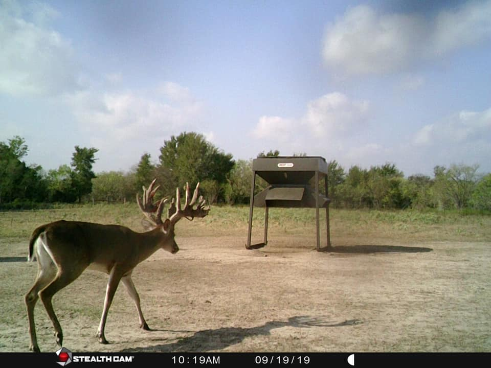 Trophy whitetail going to feed on the Austin Trophy Whitetails ranch.